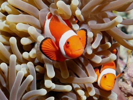 реверсия пола у рыбы клоуна