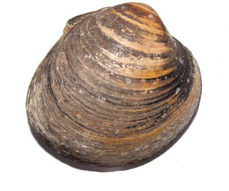 самый старый моллюск