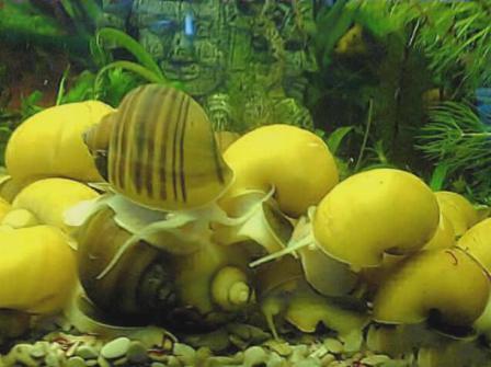 Моллюски в аквариуме